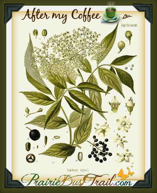 Elderberry is one of my very favorite herbs. The berries are good for everyone in the family. Berries in general tend to be very nutritious but elderberries are special. My favorite way to use the dried berries is in tea with Nettle and Echinacea.